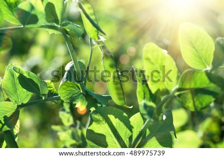 ripe green pea pods, stems, leaves, early in the morning, close-up on the field. Food concept and agriculture background.