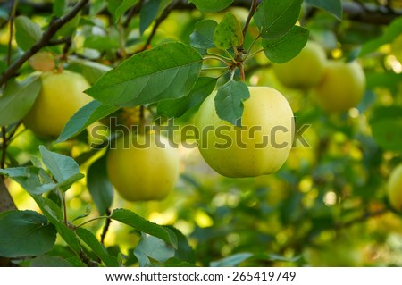 Ripe green yellow apples on the branch growing - stock photo
