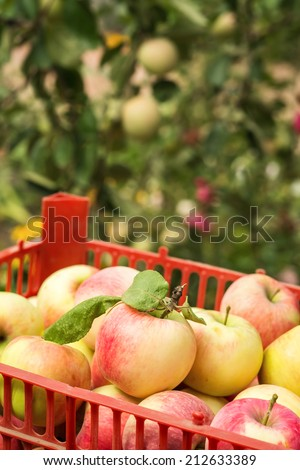 Ripe harvested apples in plastic crate on trees background - stock photo