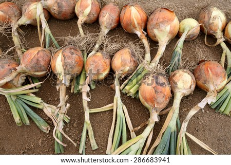 Ripe harvested onion on the field - stock photo