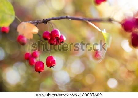 Ripe hawthorn in autumn - stock photo