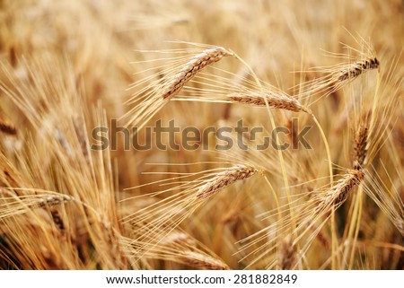 Ripe Heads of Organic Hard Red Wheat - stock photo