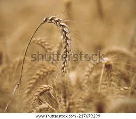 ripe heavy wheat ear in wheat field, close up - stock photo