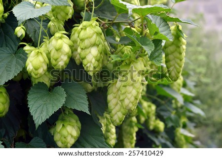 ripe hops in the fall outdoors - stock photo