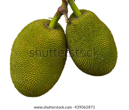 Ripe jackfruit. Tropical fruit isolated on white background. Golden yellow and peel small button consecutive yellowish green pattern skin with thorns.