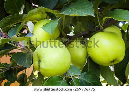 Ripe juicy apples light yellow color on a branch of an Apple tree ripened in the garden - stock photo