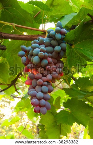 Ripe juicy cluster of grapes in an environment of leaves and vine - stock photo