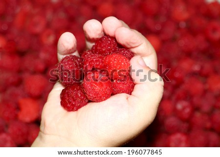 Ripe juicy large raspberries in childrens palm - stock photo