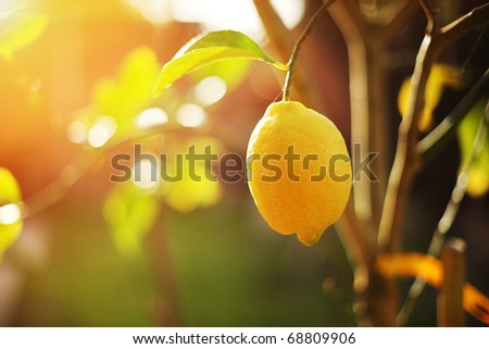 Ripe lemon hangs on tree branch in sunshine. Closeup, shallow DOF. - stock photo