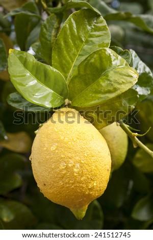 Ripe lemon on a tree branch - stock photo