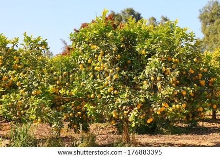 Ripe lemon tree on citron plantation  - stock photo