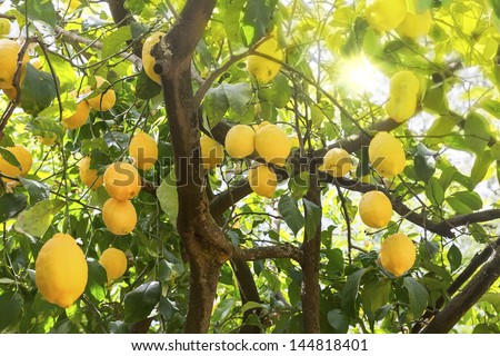 Ripe lemons hanging on a tree in Greece with sun rays shining through the leaves - stock photo