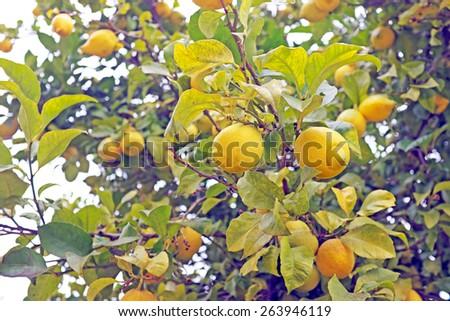 Ripe lemons on e tree - stock photo