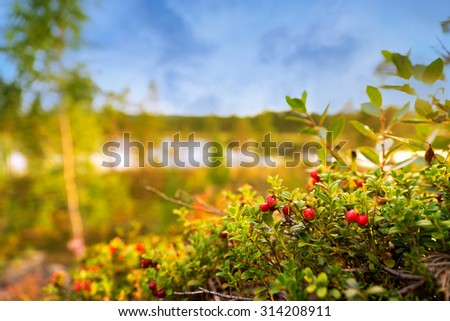 Ripe lingonberries in scandinavian forest with  tarn and blue sky in background - stock photo