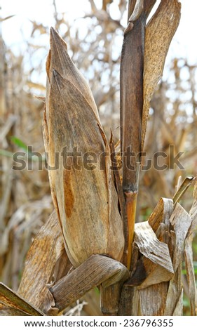 Ripe maize corn ear in cultivated agricultural corn field ready for harvest picking - stock photo