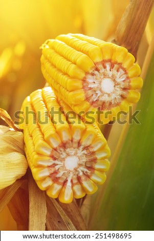 Ripe maize corn on the cob in cultivated agricultural field ready for harvest picking - stock photo