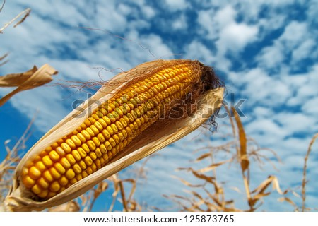 ripe maize on a field under clouds - stock photo