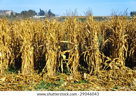 Ripe maize ready for harvest - stock photo