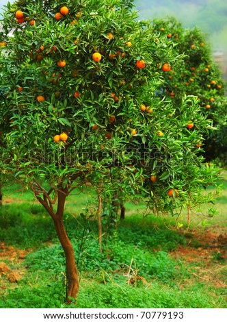 Ripe mandarin tree growing in the farm garden, agriculture industry - stock photo
