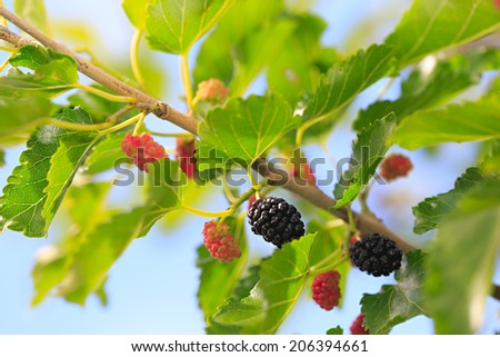 ripe mulberries in the green foliage  - stock photo