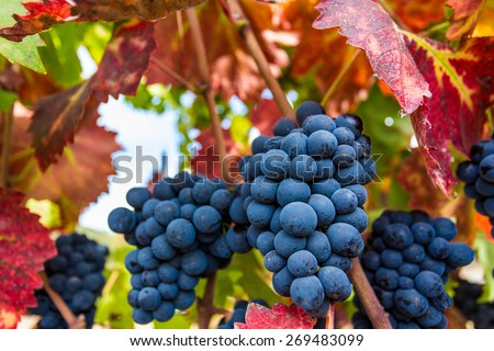 Ripe Napa Valley Grapes - stock photo