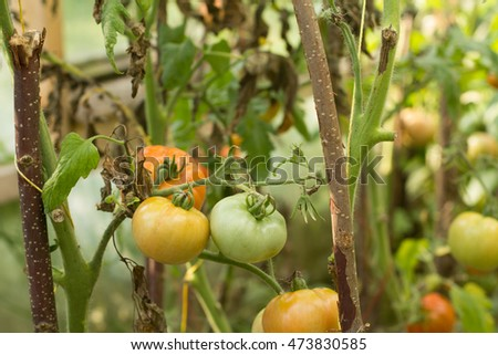 Ripe natural tomatoes growing on a branch