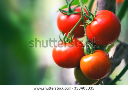 Ripe natural tomatoes growing on a branch in a greenhouse. Shallow depth of field - stock photo