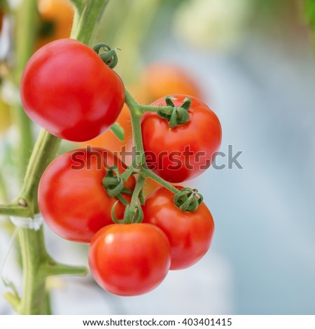 Ripe natural tomatoes growing on a branch ( select focus)
