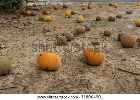 ripe of santol fruits on floor of santol plantation - stock photo