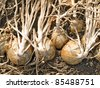 Ripe onion in ground. - stock photo