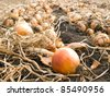 Ripe onion on field. - stock photo