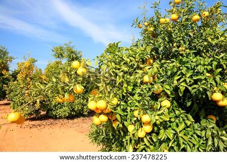 Ripe orange fruit trees on citron plantation - stock photo