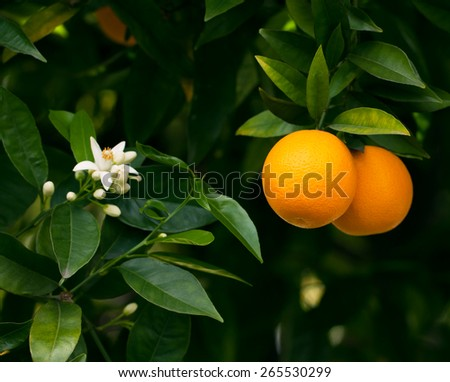 Ripe oranges hanging on a blossoming orange tree - stock photo