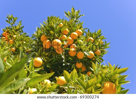 Ripe oranges hanging on a tree on a sunny day - stock photo