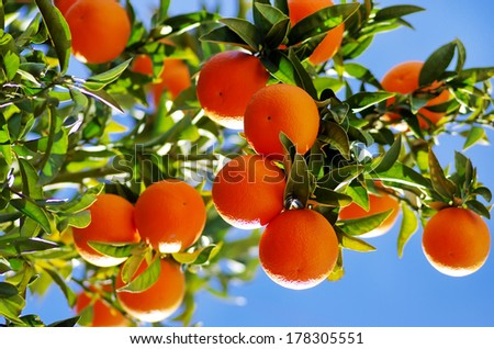 Ripe oranges on branch - stock photo