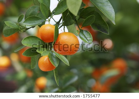 Ripe oranges on tree. - stock photo