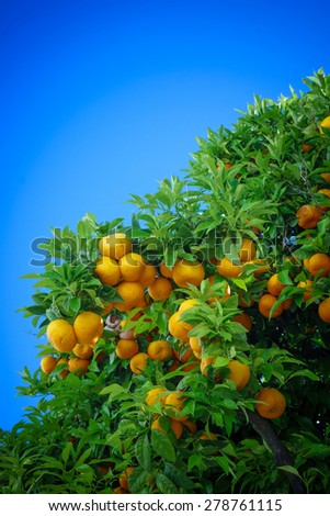 Ripe oranges. oranges on a tree - stock photo