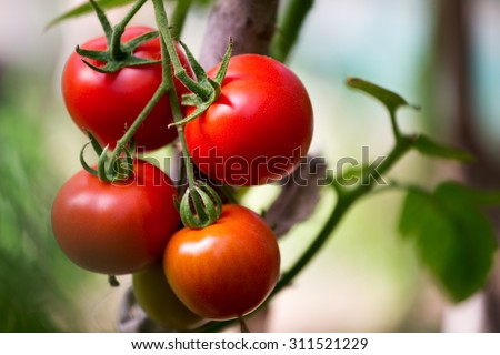 Ripe organic tomatoes on a branch in a greenhouse. Shallow depth of field - stock photo