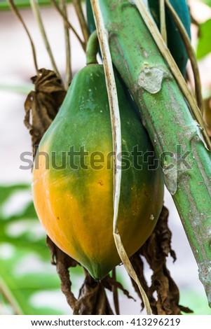 Ripe papaya hang on tree,tropical fruit - stock photo