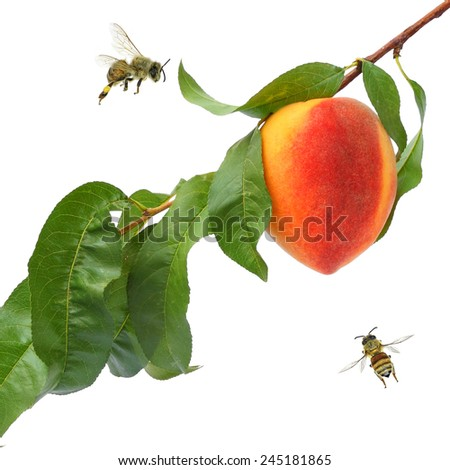 Ripe peach fruit on the tree and honey bees. Isolated on white background  - stock photo