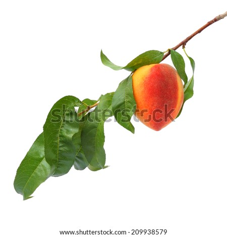 Ripe peach fruit on the tree. White background isolated - stock photo