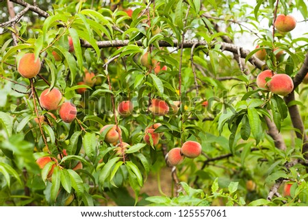 Ripe peaches fruits on a branch in orchard - stock photo