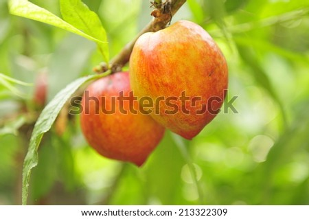 Ripe peaches hanging in a tree  - stock photo