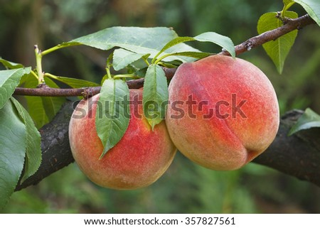 Ripe Peaches on the Branch - stock photo