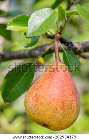 Ripe pear fruits hanging on a tree branch - stock photo