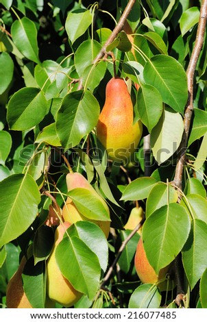 Ripe pear in leaves of the tree - stock photo