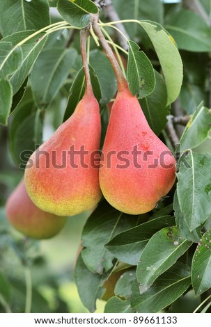 ripe pears on a branch - stock photo