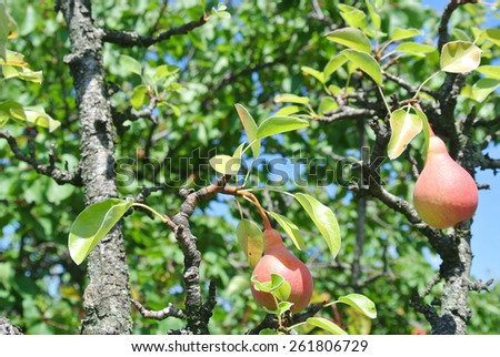 Ripe pears on a tree in an orchard. Healthy/clean eating concept. - stock photo