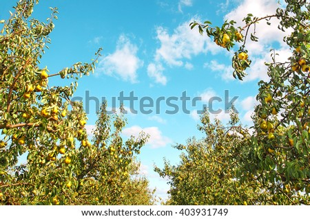Ripe pears on pear-trees - stock photo