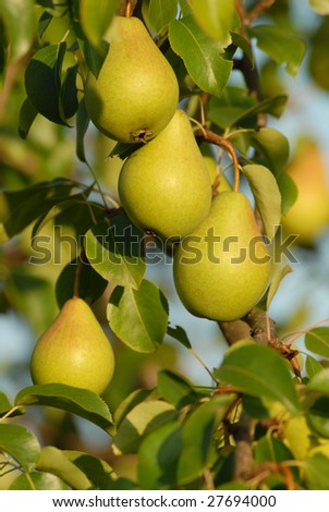 ripe pears on the branch - stock photo
